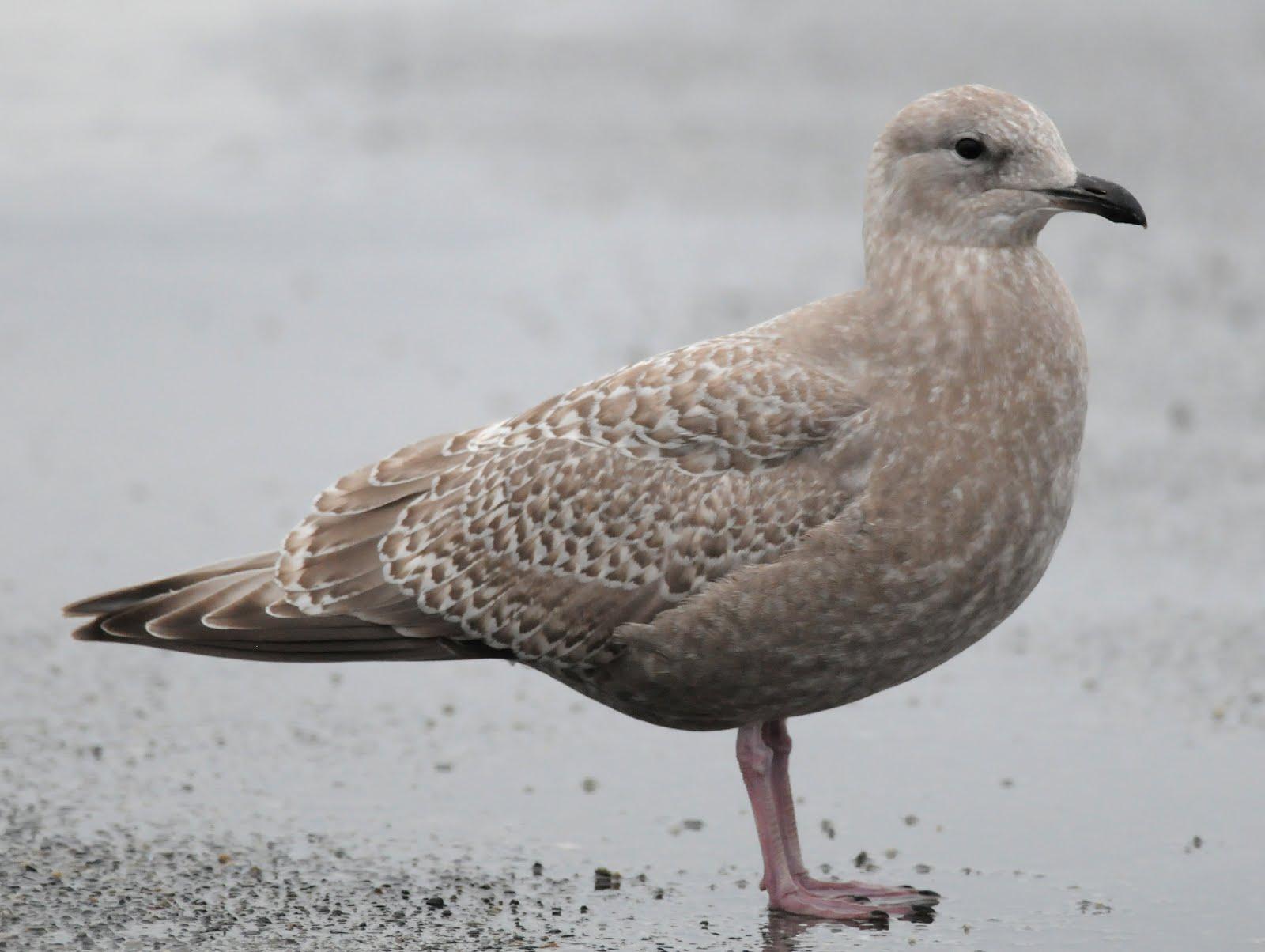 Larusology: Herring vs. Thayer's -identifying first winter ... |Thayers Gull