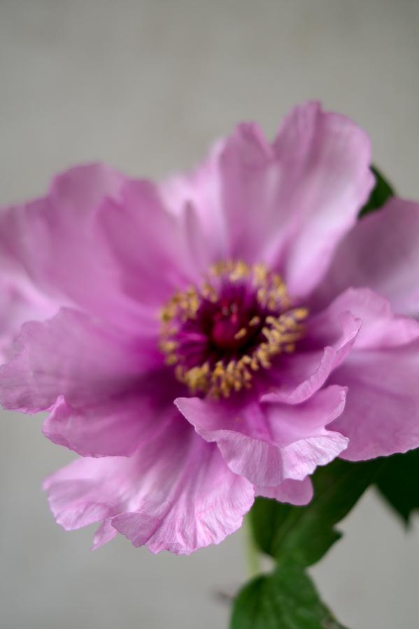 Blog + Fotografie by it's me! | fim.works | Bunt ist die Welt | Blumen | romantische Aufnahme einer rosa-fliederfarbenen Bauernpfingstrose