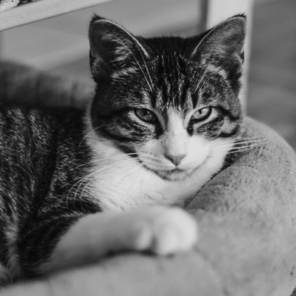 photo of tabby and white cat with black and white filter