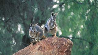 Kumpulan Gambar Hewan di Australia
