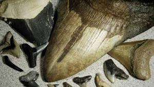 Fosil gigi hiu purba atau Megalodon di Desa Gunungsungging, sekarang harganya ratusan juta