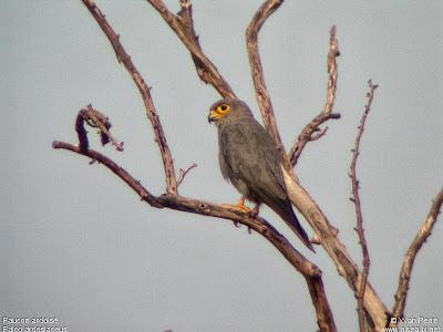 Cernícalo gris Falco ardosiaceus