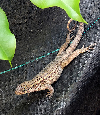 close up of curly tail lizard on fence