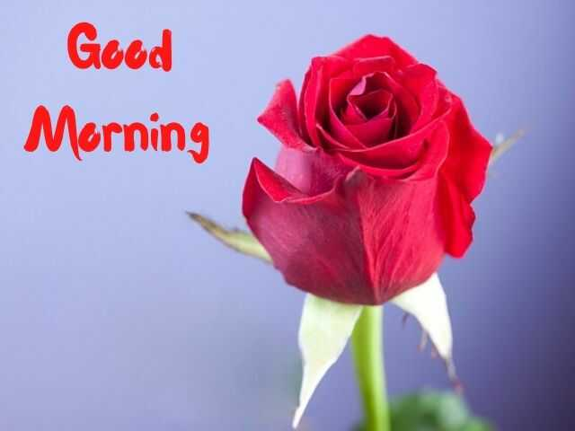 Red Rose Good Morning Photos