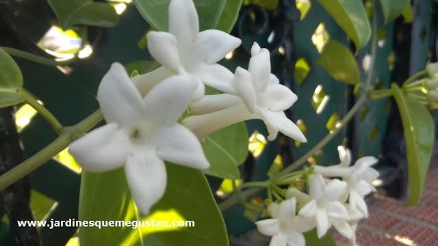 Flor de jazmín de Madagascar