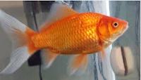 Jenis Ikan Koki Common cantik