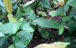 Gambar Tanaman Asoka (Ixora Coccinea)