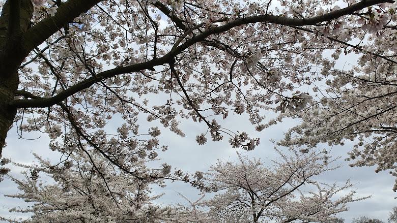 陰天與白色櫻花