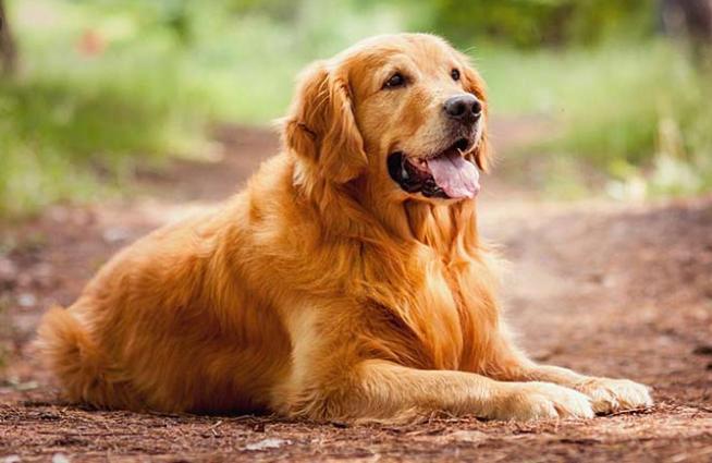 ORIGINAL BREED | Golden Retriever Puppy Price in Ambala