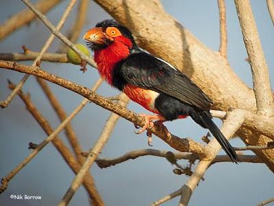 Barbudo pecho rojo Lybius Pogonornis dubius