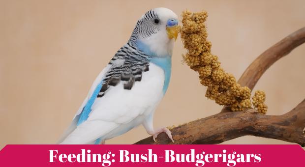 how to feed Bush Budgerigars