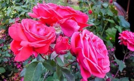 Cara Budidaya Tanaman Hias Bunga Mawar