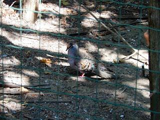 Parco Gallorose(ガッロロゼ公園)鳩
