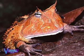 Contoh Hewan Amfibi Suriname Horned Frog
