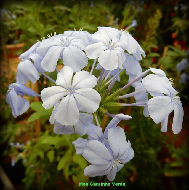Flower: BELA-EMÍLIA, PLUMBAGO - ( Plumbago auriculata )