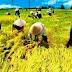 Karawang Targetkan 33 Ribu Hektar Bulan Juni Panen