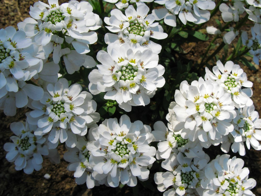 candytuft flower wallpaper