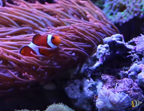 Marine depot blog finding dory how to care for a for Clown fish care