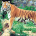 Nepal, India to Conduct Joint Tiger Census