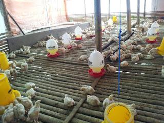 dosis viterna untuk ayam,  cara pemberian viterna pada ayam,  viterna untuk ayam bangkok,  produk nasa untuk ayam potong,  aplikasi nasa untuk ayam broiler,  viterna plus untuk ayam petelur,  cara pemakaian viterna plus,  cara pemakaian produk nasa untuk ayam,