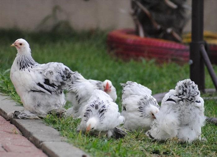 Paçalı tavuk ırkları ve özellikleri