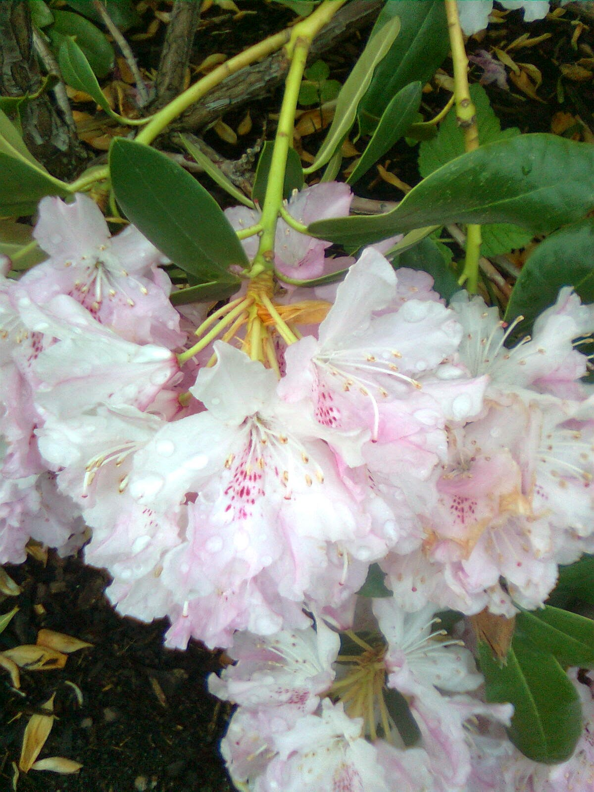 nar blomstrer rhododendron