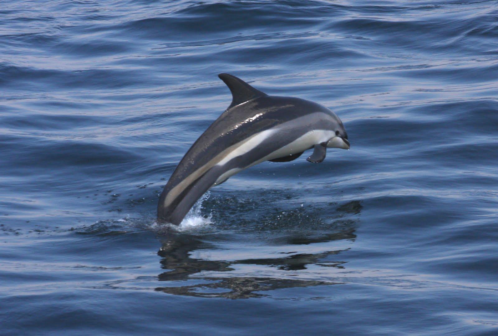 Atlantic White Sided Dolphin Life Of Sea