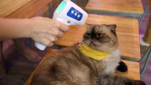 Un estudio confirma que los gatos se transmiten el nuevo coronavirus entre sí