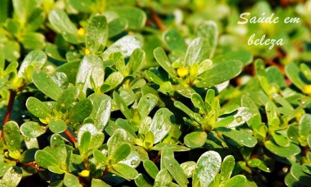 Benefícios da beldroega- uma planta que é bem mais que uma erva daninha