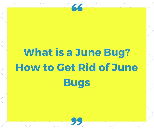 What is a june bug? How to get rid of june bugs