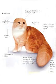 Standart CFA Untuk Kucing Scottish Fold :