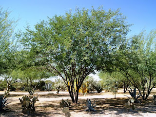 Chilean mesquite pros and cons