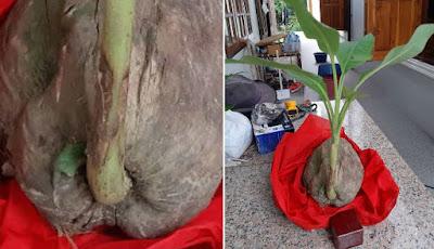 Buah kelapa yang tumbuh pohon pisang