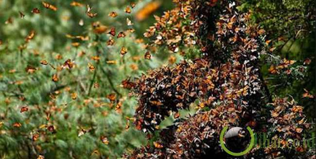 Colorado, AS: Migrasi kupu-kupu monarch