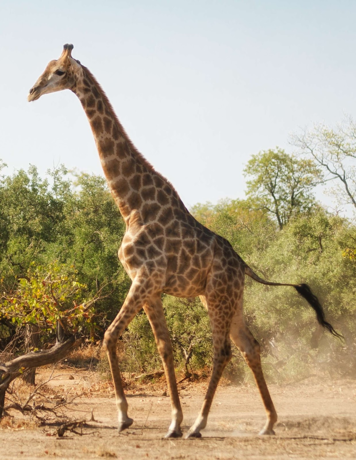 Picture of a giraffe running.