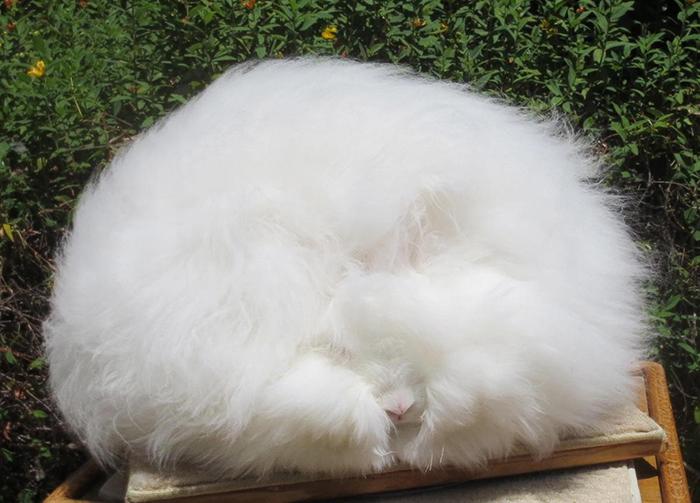 Angora Rabbit, Fluffy Rabbit, angora bunny, angora rabbits, angora rabbit breeds, cute fluffy bunnies, angora rabbit fluffy, cute fluffy bunny, bunny fluffy, fluffy rabbit