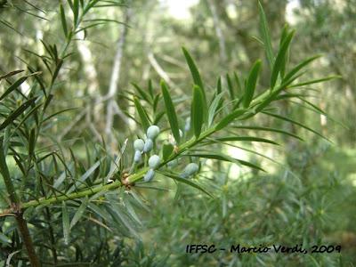 Pino bravo Podocarpus lambertii