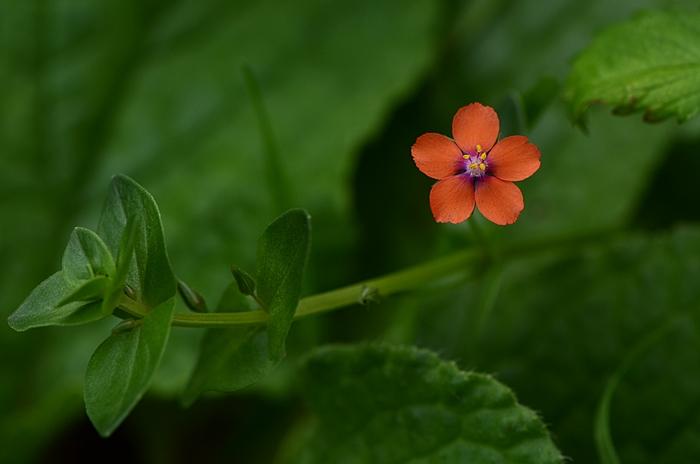 Mouron rouge Lysimachia arvensis