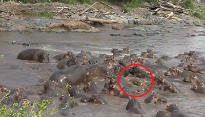 Buaya Masuk 'Kandang' Kuda Nil Langsung Jadi Bulan-bulanan