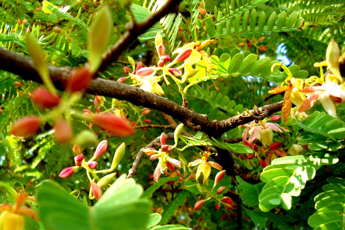 apratimpous: Yipee! The Tamarind is in flower...!