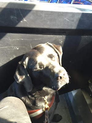Guide Dog Leif is sitting on a bus, Sunlight streams in through a window making his black coat glisten silver.