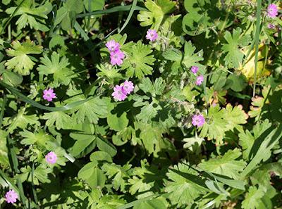 Geranio de los caminos (Geranium molle)