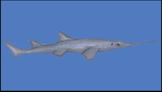 The Knife-tooth Sawfish, Anoxypristis cuspidata