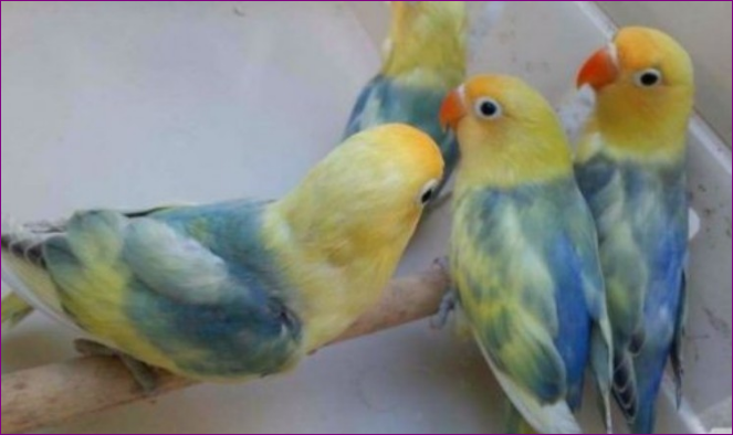 Jenis Burung Lovebird Tercantik yang Ada di Dunia