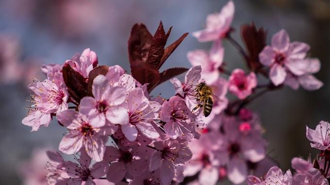 Flores, Abelha, Pétalas, Primavera