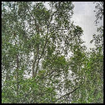 Hutan bakau dan bekantan