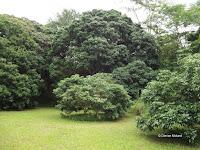 Lychee trees - Senator Fong's Plantation and Gardens, Oahu, HI