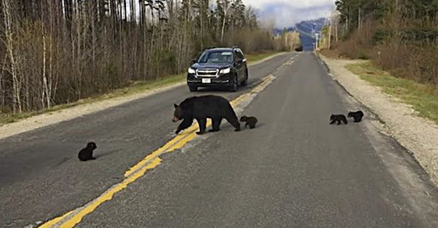 Увидев как тщетно медведица пытается перевести медвежат через дорогу — полицейский перекрыл движение. Но внезапно медведица бросилась…