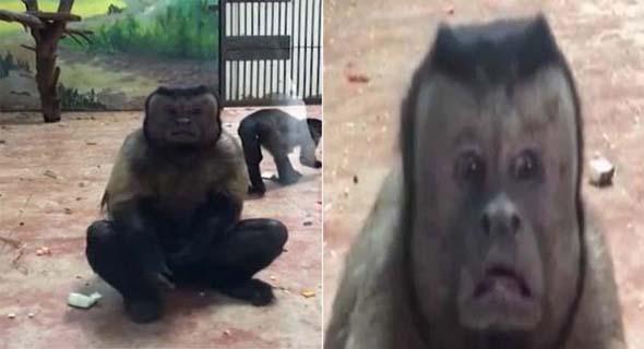 Heboh, Ada Monyet Berwajah Manusia