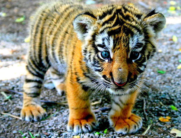 baby tiger image download